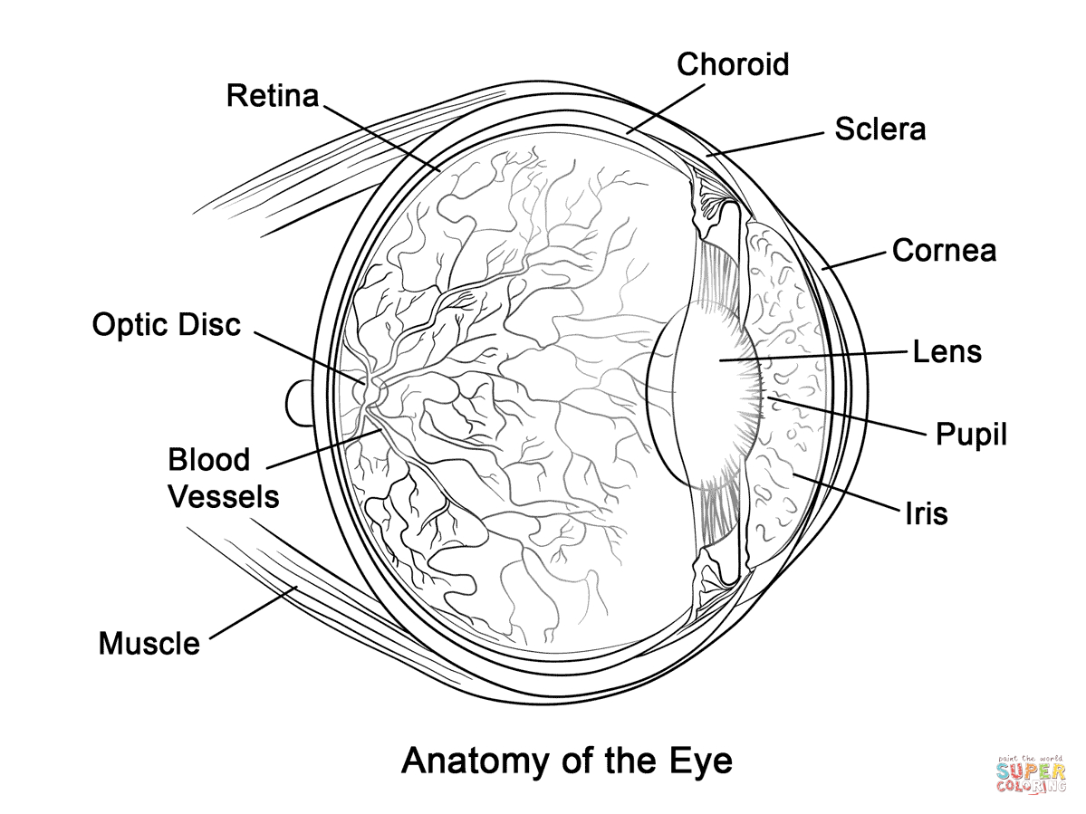 Eye Coloring Page Human Eye Anatomy Coloring Page Free Printable Coloring Pages