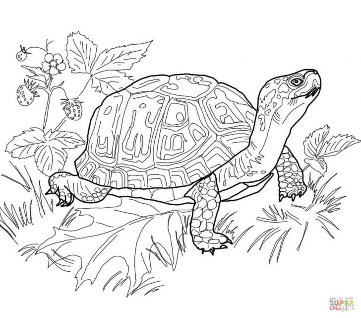 Turtle Coloring Pages Eastern Box Turtle Coloring Page Free Printable Coloring Pages